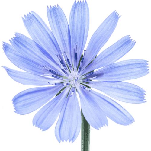 Chicory Icon